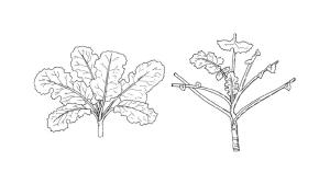image of canola leaf