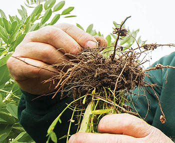 Photo of legume plant roots