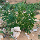 Review investigates control options for blue lupin