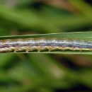 Differences in insecticide sensitivity shown in fall armyworm