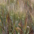Wild wheat could hold key to crown rot resistance