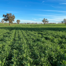 Paddock Practices: Managing canopy growth in higher rainfall zones to …