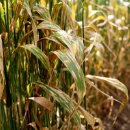 New decision-making tool for yellow leaf spot disease