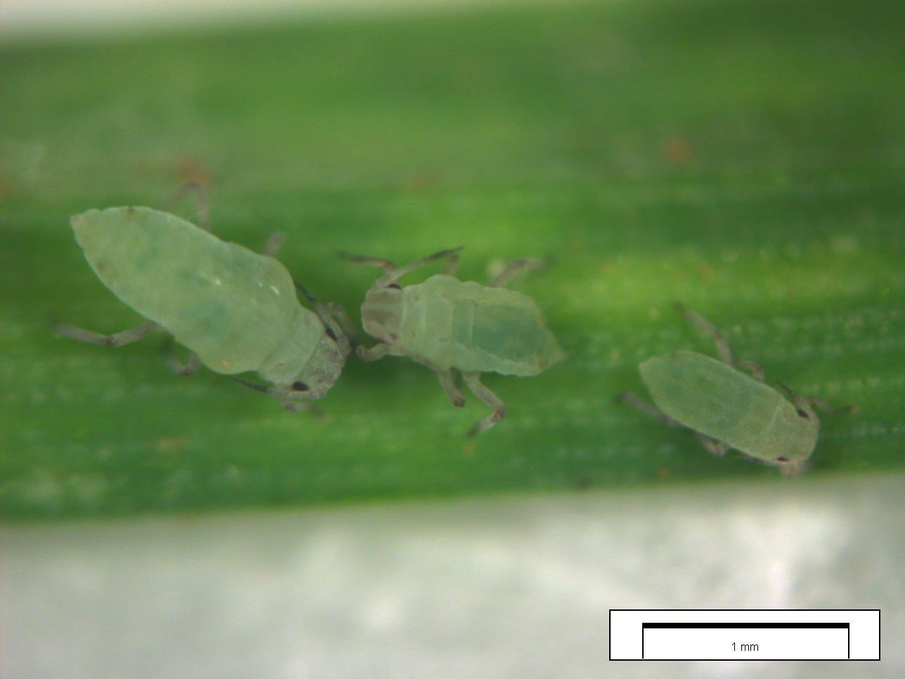 Wheat aphids on plant