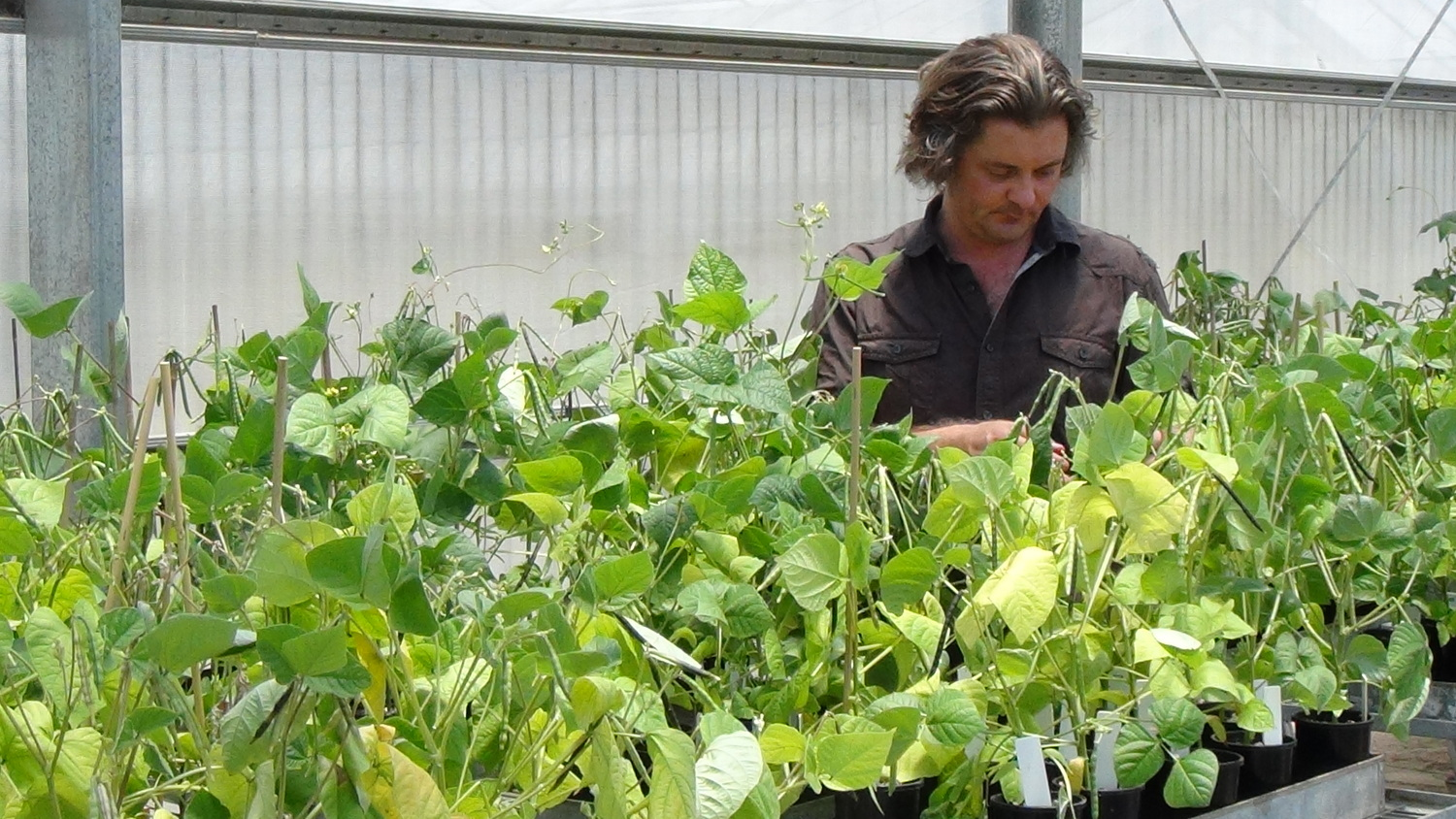 Col Douglas inspects mungbeans at Hermitage Research Station, Warwick