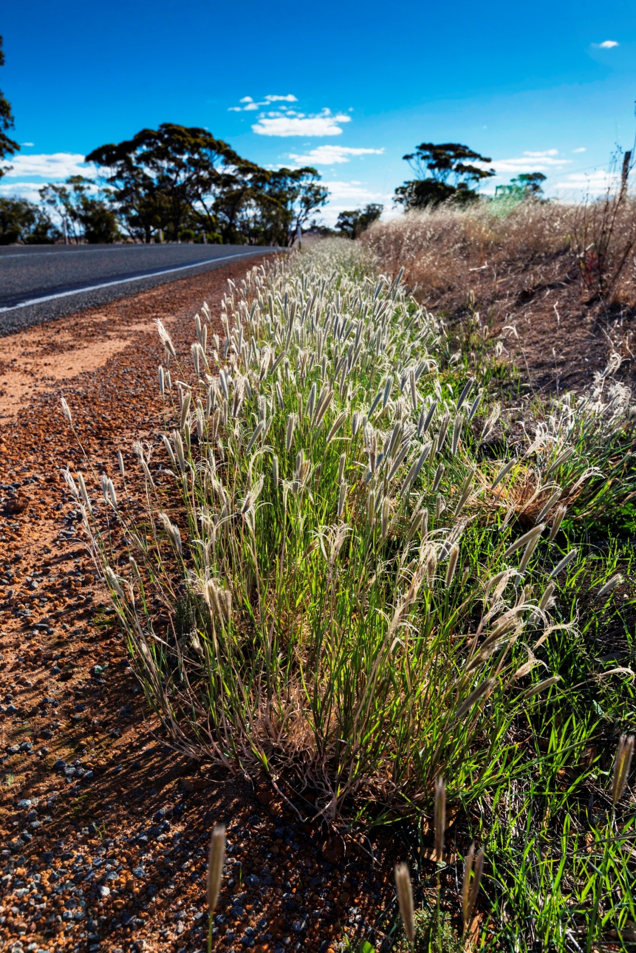 Large infestation of feathertop Rhodes grass in southern Western Australia where it is spreading with summer rains