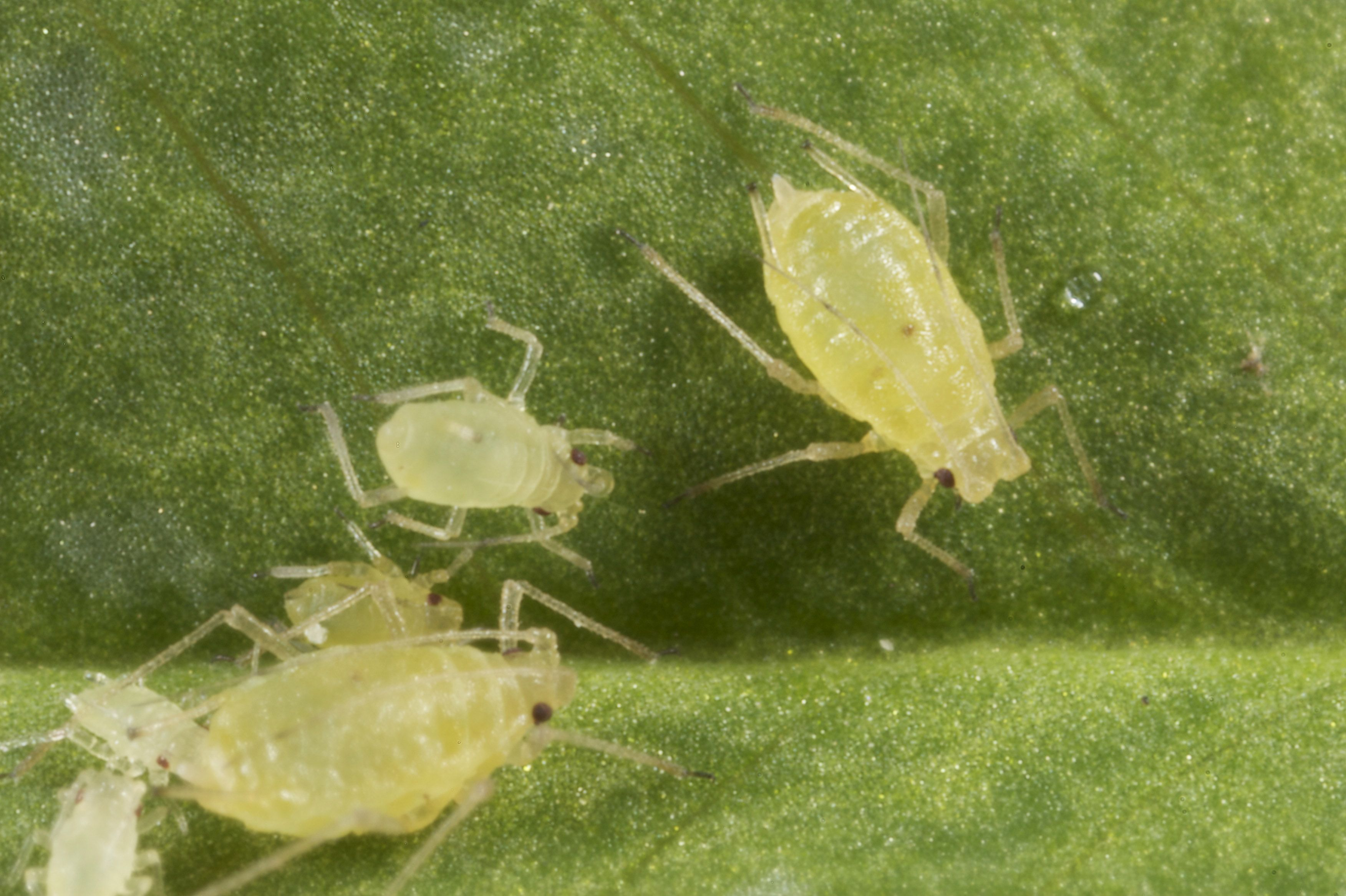 Green peach aphids