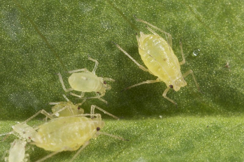 A new testing service is being offered to grain growers and advisers to determine the presence of insecticide resistance in green peach aphids. Photo: A Weeks