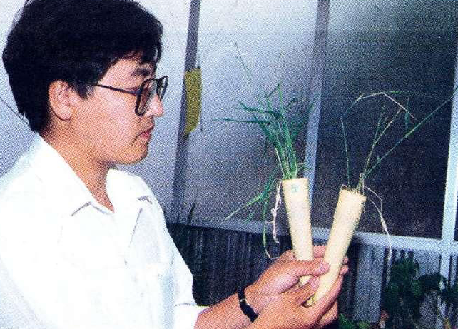 Dr Yong Huang with barley that has been attacked by crown rot (right) versus barley protected from the fungus by the bacterium.