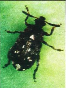Photo of a Pea Weevil
