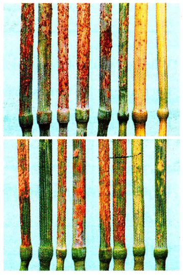 Rusted stems of varieties (left to right): Lawson, Paterson, Declic, More, Muchmore, Rosella, Currawong and Warbler. The upper set were infected with the Paterson pathotype. The last three varieties are resistant. The lower set were infected with a Rosella pathotype. The second and last two varieties are resistant.