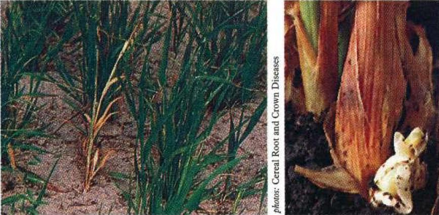 LEFT: Close-up of stem nematode affecting oat plant, showing stunting and multi-tillered effects with some death of leaves. RIGHT: Close-up of oat plant with abnormal bulb-like base of stem.