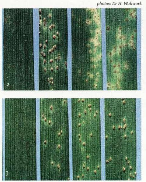 2) and 3) Rust symptoms of two pathotypes on seedling leaves of four barley varieties. The variety on the left is resistant to both pathotypes, whereas Franklin on the right is resistant in Figure 2 (upper) and susceptible in Figure 3 (lower).