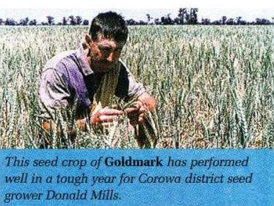 This seed crop of Goldmark has performed well in a tough year for Corowa district seed grower Donald Mills.
