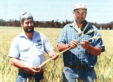 Corowa district seed grower Graeme Hicks and Revell Seeds marketing manager Kelvin Margetts, Dimboola, inspect a seed crop of the new Revell shorter-season hard wheat, Silverstar, growing on Mr Hicks' property, 'Buccleuch Villa', Lowesdale.