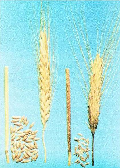 The effects of stem rust on stems and grain from a crop of Coorong triticale (right) grown at North Star, NSW, in 1982. Some off-type resistant plants (left) occured in the crop.