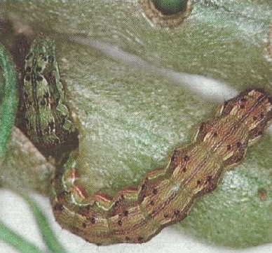 Trapping grid provides data on thresholds for spraying to control heliothis.