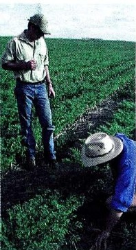 Ross Brown and John Stevenson (manager) inspecting chickpeas planted into sorghum stubble at 'Wyobie' in 1999.