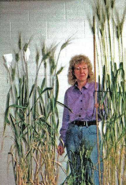 Harvesting the salt secrets of the ancient world: Rana Manns with (R) the ancient wheat race crossed with Wollaroi (in front) to make the F1 generation cross plants that exclude salt from their roots.