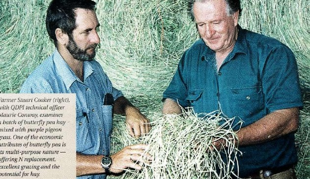 Farmer Stuart Cooker (right), with QDPI technical officer Maurie Conway, examines a batch of butterfly pea hay mixed with purple pigeon grass. One of the economic attributes of butterfly pea is its multi-purpose nature — offering N replacement, excellent grazing and the potential for hay.Farmer Stuart Cooker (right), with QDPI technical officer Maurie Conway, examines a batch of butterfly pea hay mixed with purple pigeon grass. One of the economic attributes of butterfly pea is its multi-purpose nature — offering N replacement, excellent grazing and the potential for hay.