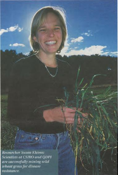 Researcher Susan Kleven: Scientsits at CSIRO and QDPI are successfully mining wild wheat grass for disease resistance.