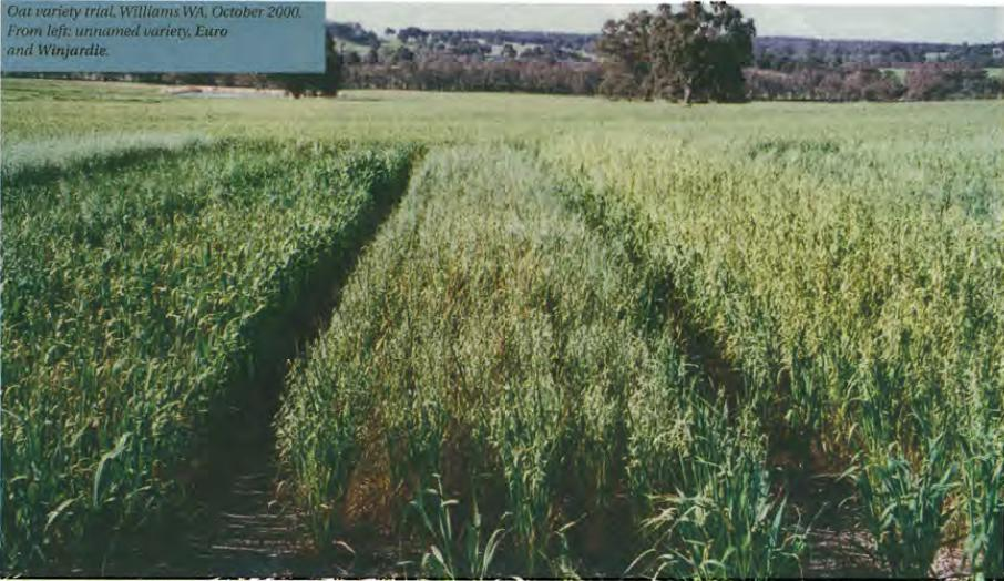 Oat variety trial. Williams WA, October 2000. From left: unnamed variety, Euro and Winjardie.