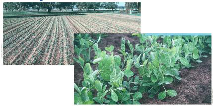 ield peas (seen here) and lathyrus green manure crops set up profitable wheat crops.