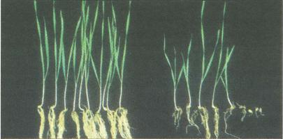 Uninfected control wheat plants (left) compared with Pythium-infected wheat plants (right). Disease symptoms include reduced crop emergence (seedling damping-off), poor early vigour and reduced root density.