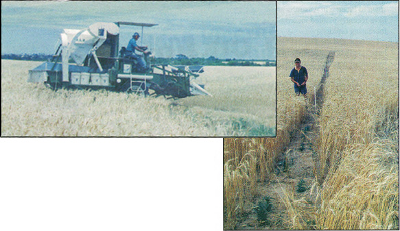 Above: Trial plot harvesting, Eyre Peninsula. Right: Trial plots, dune swale country, Eyre Peninsula.