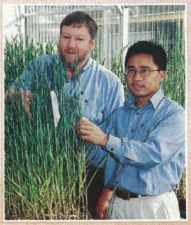 Barley breeders Dr Reg Lance and Dr Chengdao Li with one of the new varieties.