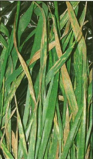 Critical period for containing stripe rust until new resistant varieties are released.