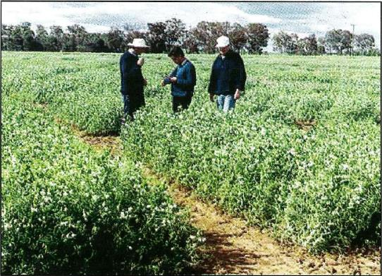 Pulse breeders from VIDA Horsham Jan Bert Brouwer (retired), Tony Leonforte and Michael Materne assessing the growth of field pea lines in experimental trials in Victoria's mallee.