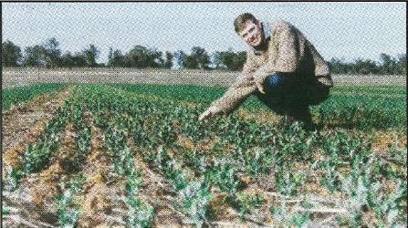 NSW Agriculture agronomist Graeme Mcintosh inspects field pea growth at trial site