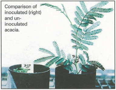 Comparison of inoculated (right) and uninoculated acacia