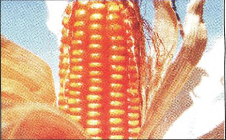 Photo of a corn
