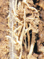 A new wheat root in close association with previous season canola roots in a subsoil biopore.