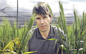 Professor Robert Park with on the left, plants infected with stripe rust, and on the right, genetically similar wheat plants that carry a stripe rust resistance gene.