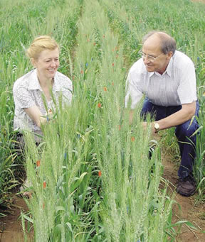 Dr Kolumbina Mrva and Dr Daryl Mares inspect bread wheat lines in the late-maturity alphaamylase screening trials