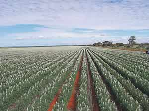 Photo of lupins growing in wide rows