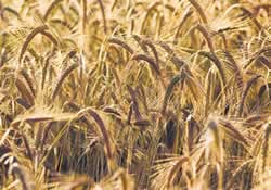 Photo of Barley crops