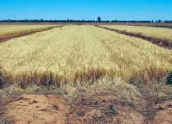 Photo of barley growing on beds inside an irrigated rice field