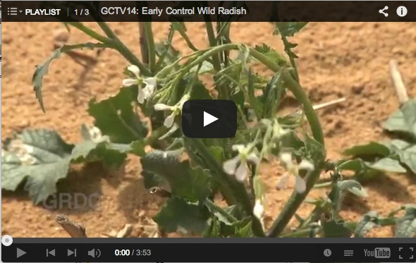 Still from Early Control Wild Radish video