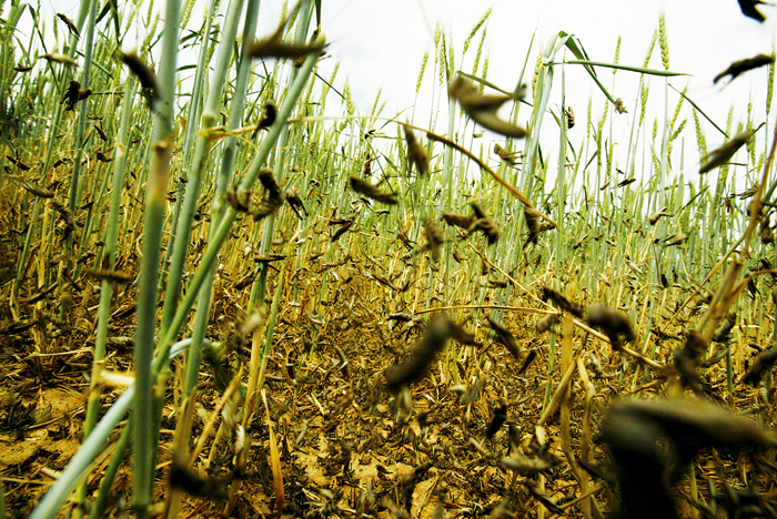 Close-up of wheat crop suffering plague