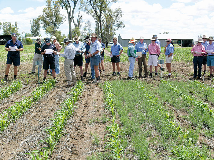 Image of people standing in a crop of sorghum affected by fleabane