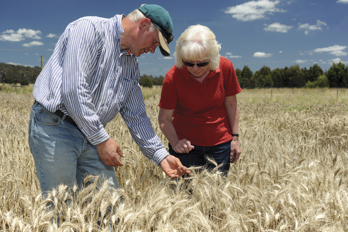 Man and woman inspecting wheat