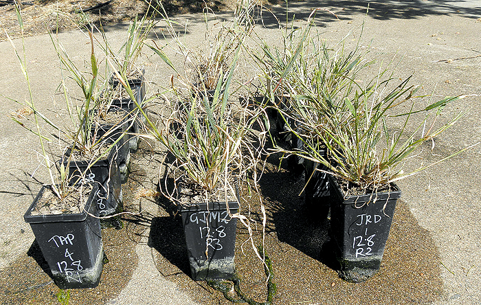 Photo of collected awnless barnyard grass
