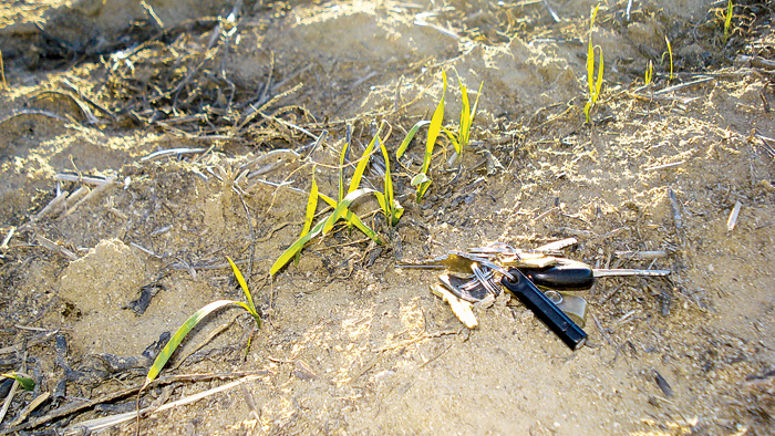 Photo of dry-sown wheat recovering from water stress