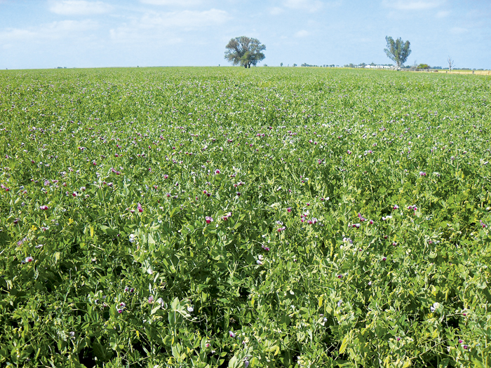 Photo of PBA Coogee, a field pea variety