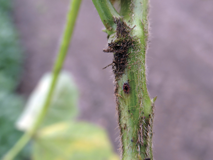 A phot of a soybean stem fly exit hole