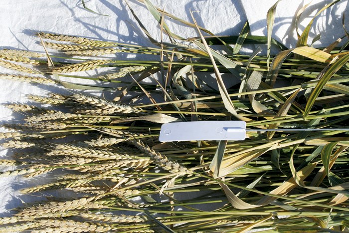 Photo of tagged wheat